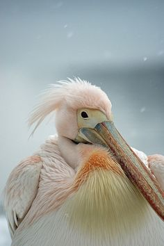 Pink Pelican looking bemused in the february snow . St james park, nearest tube is st james park or westminster Adult category Pretty Birds, Love Birds, Beautiful Birds, Animals Beautiful, Sea Birds, Wild Birds, Animals And Pets, Cute Animals, Tier Fotos