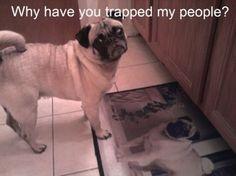 My fave pug meme