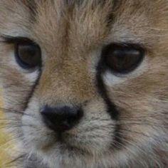Animals And Pets, Cute Animals, Sand Cat, Exotic Cats, Cheetahs, Christmas Deer, Big Cats, Animals Beautiful, Cubs