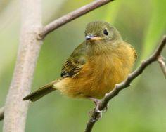 Ochre-bellied Flycatcher (Mionectes oleagineus)