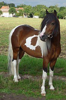 Diego is a typey, expressive stallion 130cm