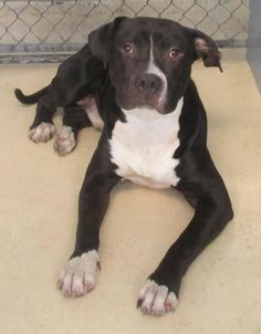 Ace - URGENT - JEFFERSON PARISH ANIMAL SHELTER: EAST BANK in Harahan, LA - ADOPT OR FOSTER - 9 MONTH OLD Male Am. Staffordshire Terrier