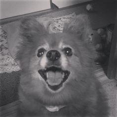 二年前に亡くなったチョコの命日 忘れない君を  #愛犬#チョコ#命日#大切な子#ふと#思い出す#笑顔#忠実#dog#ポメラニアン#パピヨン#mix#過去の写真#会いたい#もう一度#甘えん坊#ありがとう#子供らを愛してくれた#無償の愛#君を忘れない