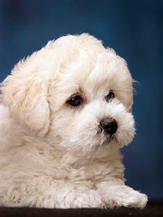 Bichon Frise - looks like my Spritz only just a few months ago.