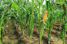 Corn (Maize): Health Benefits, Side Effects, Fun Facts, Nutrition Facts and History Healthy Corn, Corn Maize, Spaghetti Squash Nutrition, Nutritional Value, Side Effects, Health Benefits, Fun Facts, Plants, History