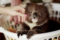 Mr Chilling In My Basket. | The 29 Cutest Koalas That Ever Roamed The Earth