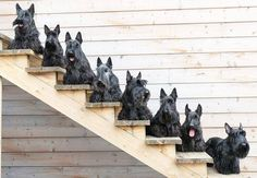 Scottie Dogs on Stairs