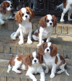 Lovely group shot on steps of front porch! Cavalier King Charles, King Charles Puppy, King Charles Spaniel, Cocker Spaniel Americano, Cute Puppies, Cute Dogs, Animals And Pets, Cute Animals, Cutest Dog Ever