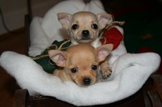 Adorable little chihuahua's