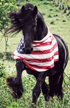Harrison, a 17.3hh Friesian stallion owned and bred by Sherri Wilson. #flag #horse #America
