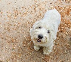 Zar, Westie de 7 años.    http://www.srperro.com/blog_perro/encuetros-perrunos-en-el-retiro-zar