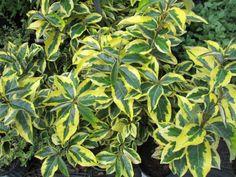 Elaeagnus × ebbingei 'Gilt Edge,