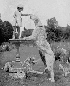 Irish Wolfhounds with little girl