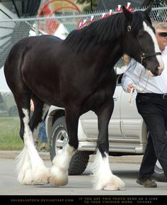 Clydesdale 4 by SalsolaStock - Pferdis - Horse Big Horses, Pretty Horses, Horse Love, Show Horses, Beautiful Horses, Animals Beautiful, Work Horses, Black Horses, Clydesdale Horses Budweiser