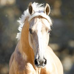 Ngahiwi Showtym Premier DOB Brown Gelding, Sire: Hold Up Premier, Dam: Violet Showtym Cassanova DOB Skewbald Gelding, Sire: Peti Cute Horses, Pretty Horses, Horse Love, Beautiful Horses, Palomino, Wilson Sisters, Some Beautiful Images, All About Horses, Majestic Horse