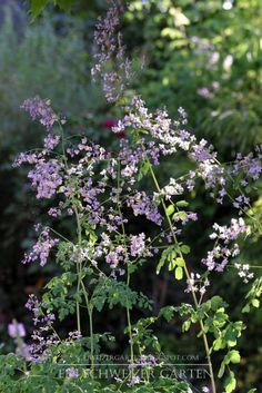staudenfoto zu euphorbia seguieriana ssp niciciana wolfsmilch trockenresistente pflanzen. Black Bedroom Furniture Sets. Home Design Ideas