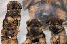 German Shepherd puppy collage
