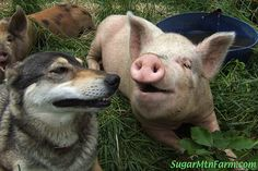 pigs | ... and two of our grower pigs mark charley had just got done playing and