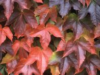 This vigorous form of Virginia creeper has leaves that turn wonderful fiery shades of orange, red, and purple in fall.