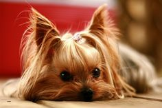 Yorkies♥ I can't wait to get one! Hubby says we have to get wood floors first waahh!!