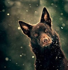 Gorgeous Australian Kelpie, third favorite breed after Belgian Malinois and Border Collies Australian Dog Breeds, Australian Cattle Dog, Pet Dogs, Dogs And Puppies, Dog Cat, Aussie Dogs, Herding Dogs, Dog Photos, My Animal