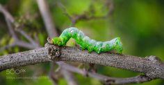 Caterpillar by alamtuhin30 #animals #animal #pet #pets #animales #animallovers #photooftheday #amazing #picoftheday