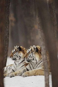 Tiger in a tea-chest. Beautiful Cats, Animals Beautiful, Wildlife Photography, Animal Photography, Learn Photography, Panthera Tigris Altaica, Big Cats, Cats And Kittens, Animals And Pets