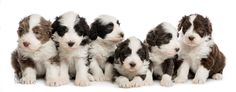 Life on White: Bearded Collie pups Bearded Collie, Dog Days, Best Friends, Cute Animals, Puppies, Dogs, Life, Dog Cat, Drawing Drawing