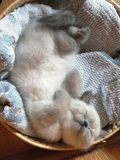 little sweetie pie Kittens Cutest, Cats And Kittens, Cute Cats, Ragdoll Cats, Beautiful Cats, Animals Beautiful, Teacup Kitten, Funny Animals, Cute Animals