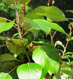 Black Cottonwood Popuius Trichocarpa