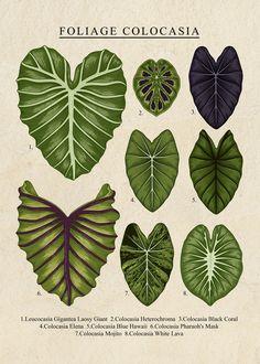 Foliage Plants, Rare Plants, Botanical Drawings, Cool Artwork, Garden Inspiration, Houseplants, Indoor Plants, Plant Leaves, Ferns Garden