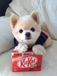 Such a cute Pomeranian puppy with a KitKat bar :D