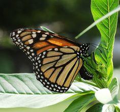 Monarch_Butterfly_Danaus_plexippus_Laying_Eggs