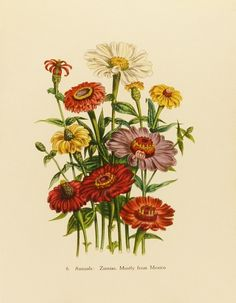 Zinnias Flower Print, Vintage Wall Decor, Victorian Botanical Artist Illustration (1940s Lithograph Art To Frame No. 6).