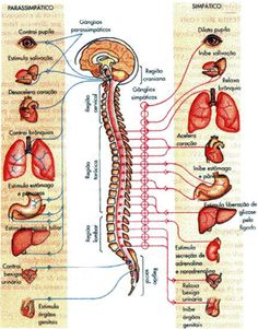 coluna vertebral - Pesquisa Google