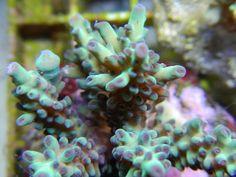 Green w/ Purple tip Acropora, Featured coral. Marine Aquarium, Saltwater Aquarium, Acropora Coral, Sps Coral, Purple Tips, Salt Water Fish, Aqua Marine, Life Pictures, Marine Life