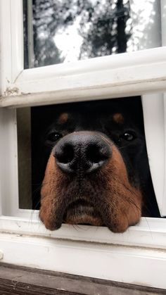 """Fantastic """"rottweiler puppies"""" info is available on our internet site. Have a look and you wont be sorry you did. Large Dog Breeds, Large Dogs, Dogs And Kids, I Love Dogs, Cute Puppies, Dogs And Puppies, Rottweiler Puppies, Beagle, Beautiful Dogs"""