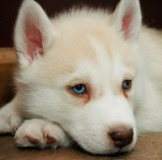 white #husky #puppy    http://www.puppy-4-sale.net/More-Husky-Puppy-Pictures.html