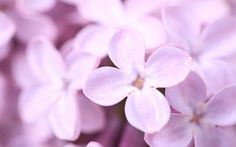 I love lilac.was in Alaska a few years ago and there were lilac trees all around Anchorage Lilac Tree, Lilac Flowers, Purple Lilac, Flowers Nature, Flower Petals, Paper Flowers, Beautiful Flowers, Summer Flowers, Spring Flowers Wallpaper