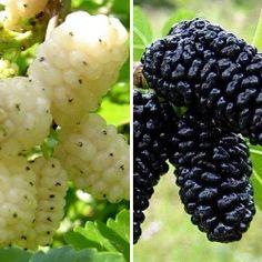 Róża wielkokwiatowa Black Baccara sadzonki Kupuj korzystniej w DomiSad.