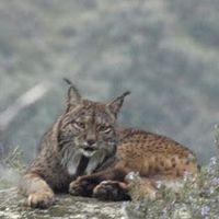 Spain: Protect the Iberian Lynx, fix fences along the A4! Ministerio de Fomento: Arreglar los vallados de la Autovía A-4 a su paso por las áreas de campeo del lince ibérico en Andujar (Jaen)y Cardeñ...