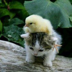 ねこ&ひよこ♡ / Kokideto sur katideto / Chick on kitten /