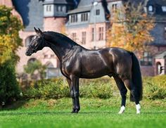 """SES Stallion: Diamond Hit, Oldenburg by Don Schufro.  Sire of """"Hank"""" at our farm!"""