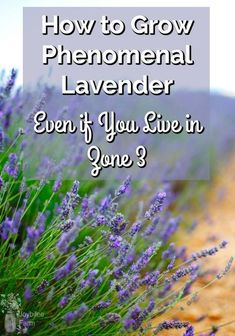 How to grow lavender guide, including which varieties are suitable for harsh winter conditions, with exceptional fragrance and flower production. Lavender Plant Care, Growing Lavender, Lavender Buds, Growing Herbs, Lavender Plants, Lavender Ideas, Lavander, Hydroponic Gardening, Gardening Tips