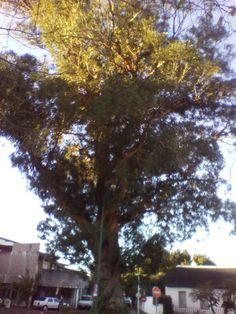 tree in Claremont 19.08.2013