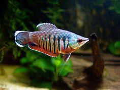 Sphaerichthys vaillanti (female), Samurai Gourami