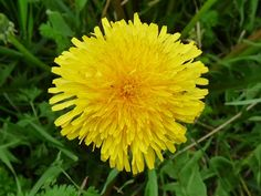 Dandelion (Taraxacum officinale) is wild, edible and nutritious food. Identify dandelion via its pictures, habitat, height, flowers and leaves.