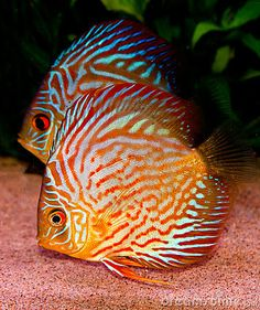 discus fish image | Discus fish Royalty Free Stock Image