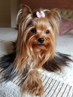 A girl max hehe Yorkies, Yorkie Dogs, Teacup Yorkie, Teacup Puppies, Cute Little Puppies, Cute Dogs And Puppies, Yorkie Hairstyles, Yorkie Puppy For Sale, Silky Terrier