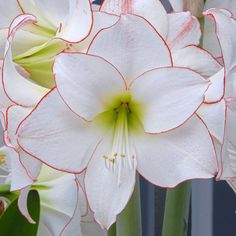 Aamryllis 'Picotee' - weiße Blüten mit orange-rotem Streifen am Rand der Blütenblätter